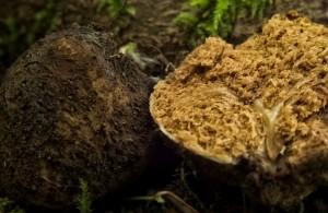 truffle millionaire 1