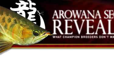Arowana fish secrets revealed